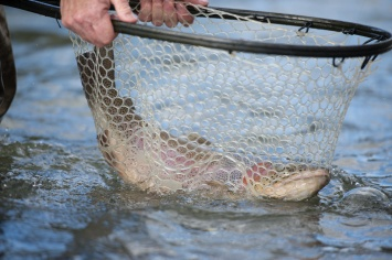 Flyfishing Trout in Net